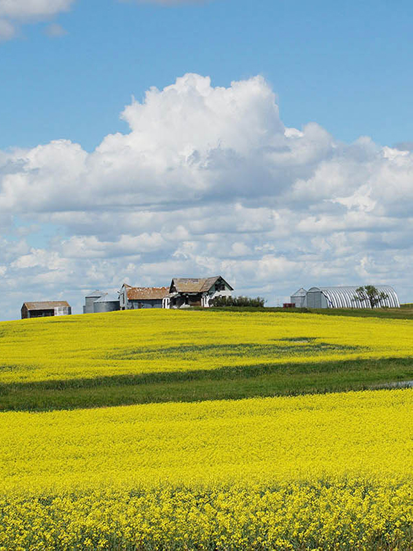 Yellow field, abandoned buildings on horizon.